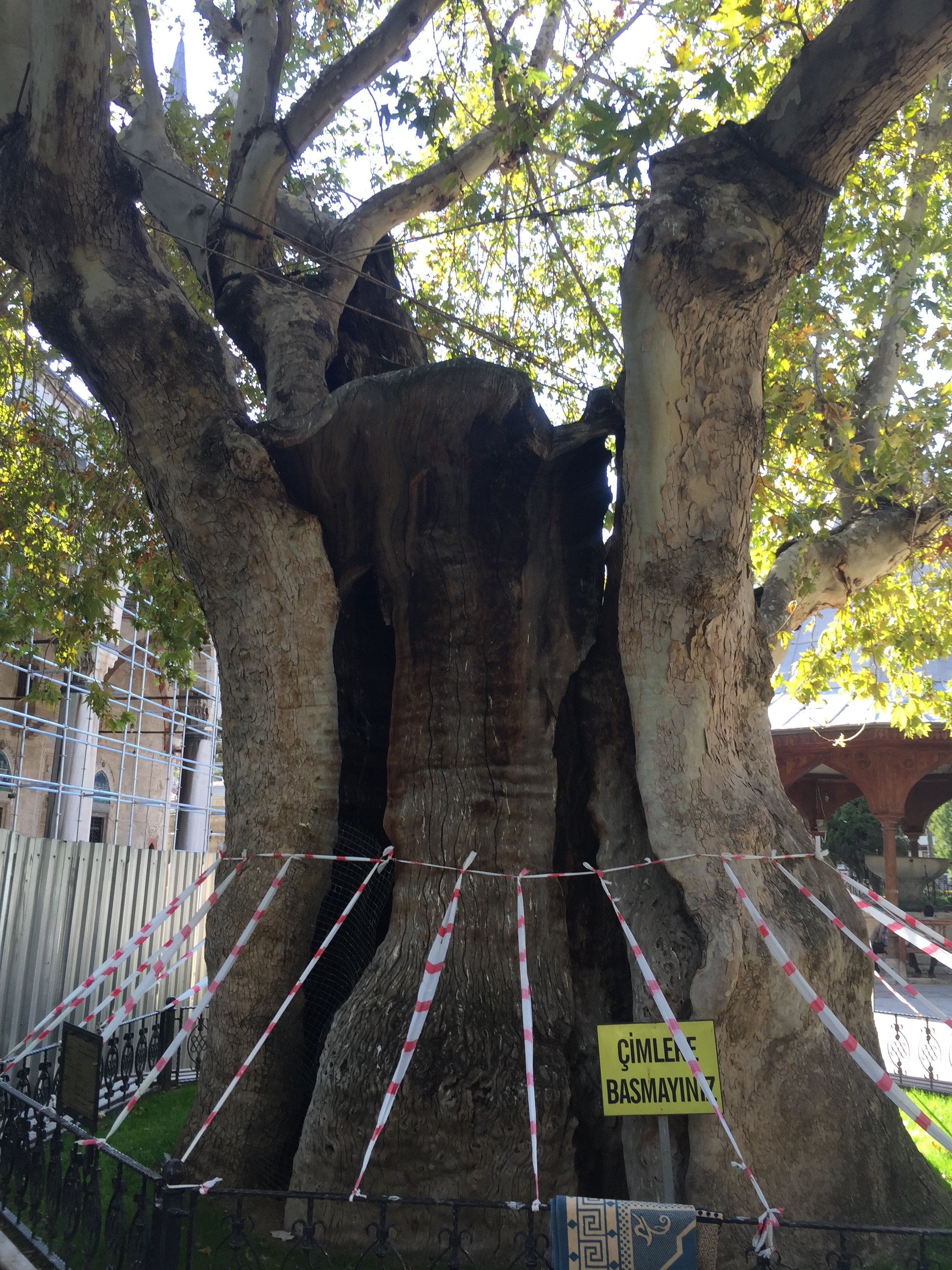 Huge, hollow tree at the mosque all held together by wires