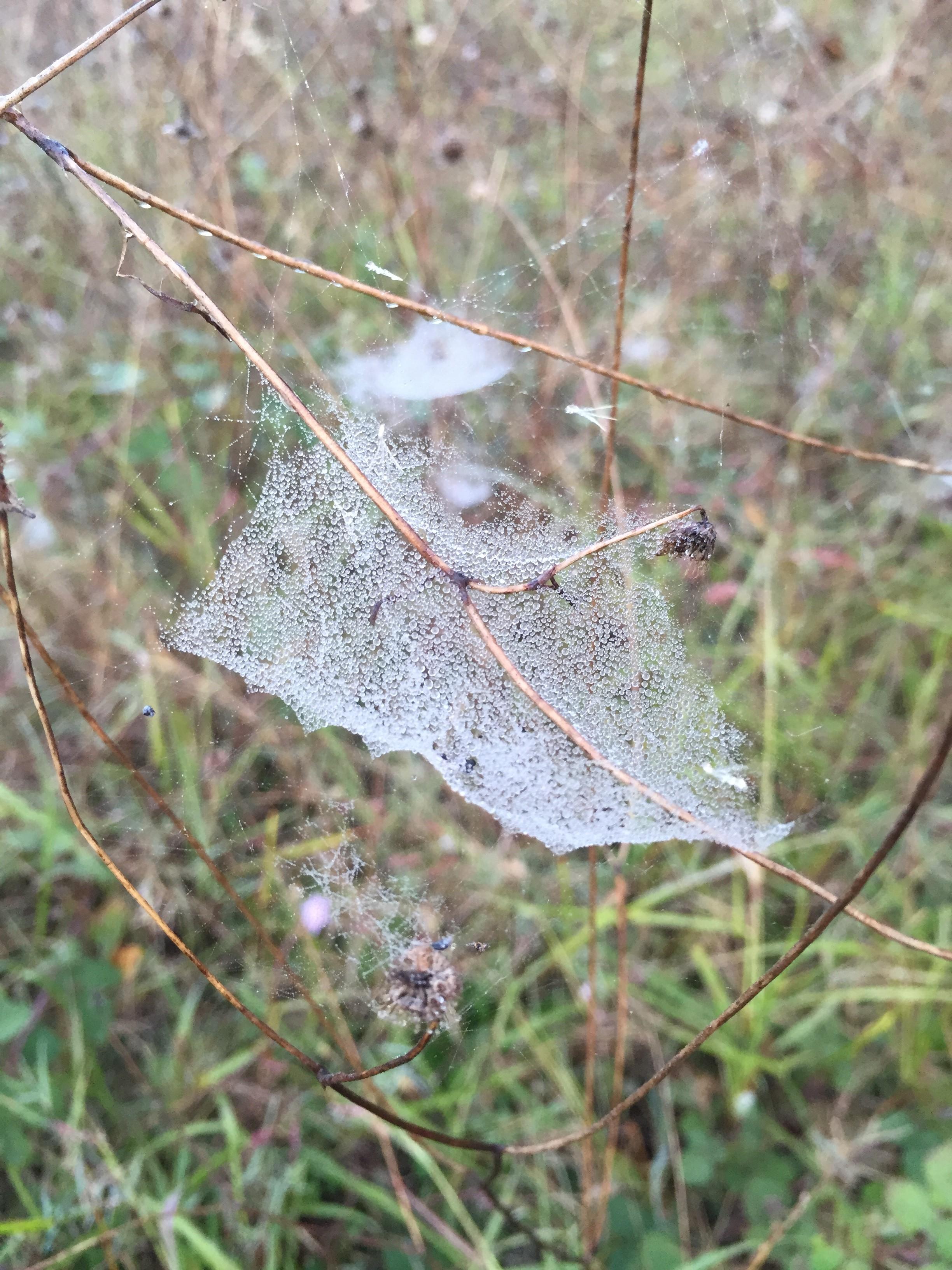 Misty morning cobwebs